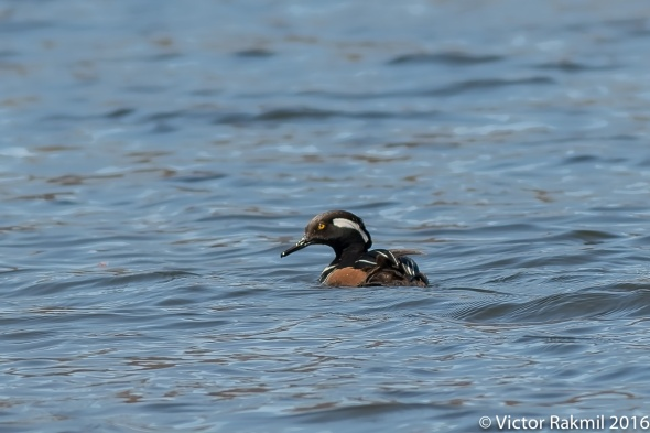 Merganser Ducks-2
