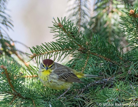 Palm Warblers-2