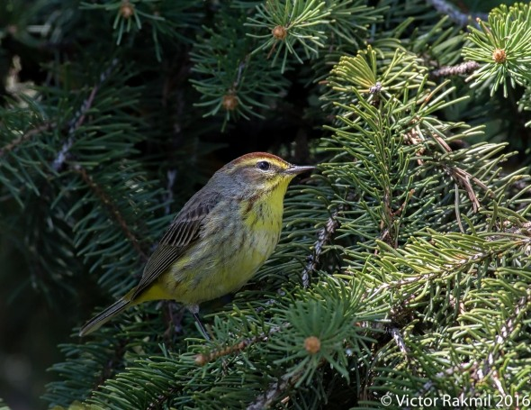 Palm Warblers-3