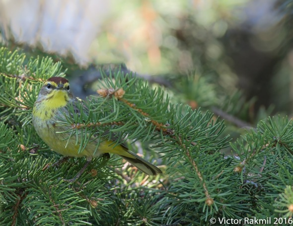 Palm Warblers-4
