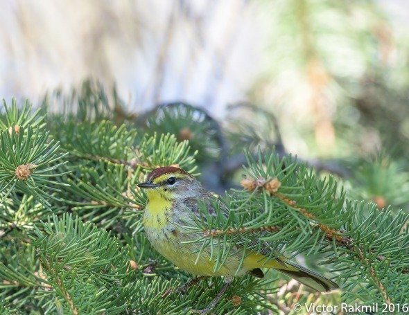 Palm Warblers-5