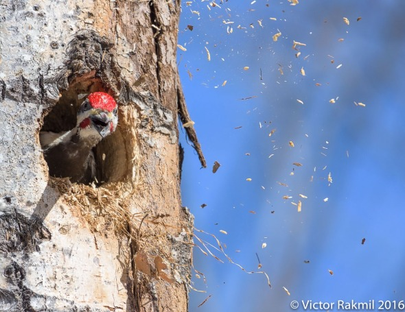 Pileated Woodpecker-2