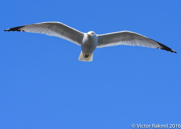 Seagulls-3
