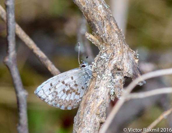Sulphur Butterfly-2