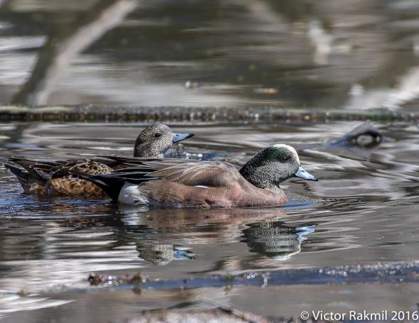 Wigeon Ducks-2