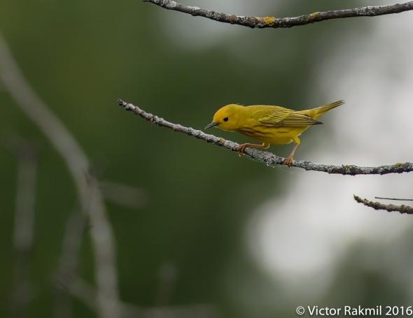 Yellow Warbler-2
