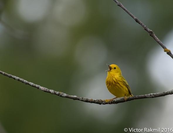 Yellow Warbler-5