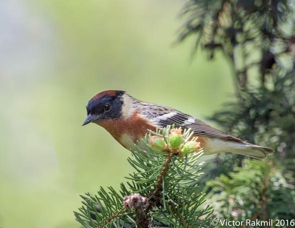 Bay-Crested Warbler-2
