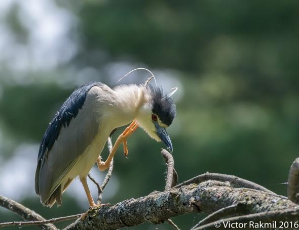 Black-Crowned Night Heron-2