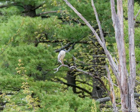Black-Crowned Night Heron 3
