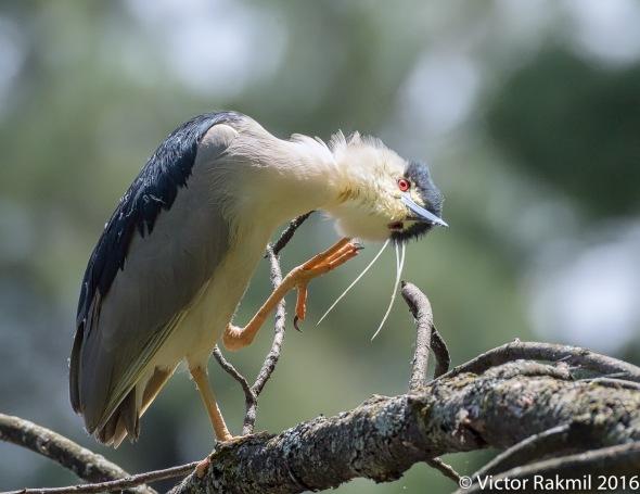 Black-Crowned Night Heron-3
