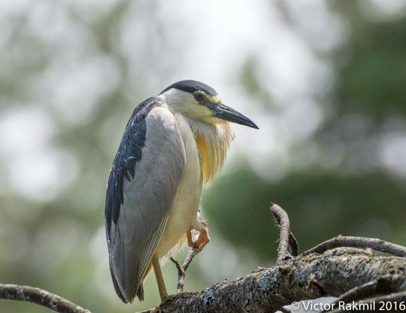 Black-Crowned Night Heron-4