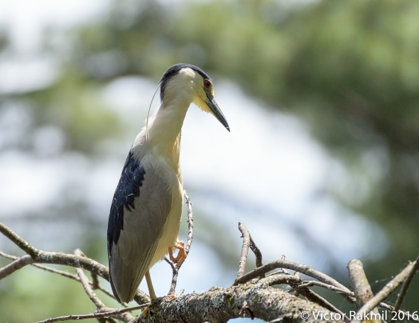 Black-Crowned Night Heron-5
