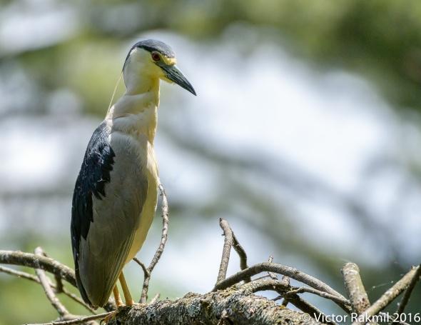 Black-Crowned Night Heron-6