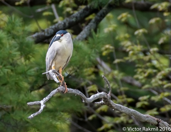Black-Crowned Night Herons-2