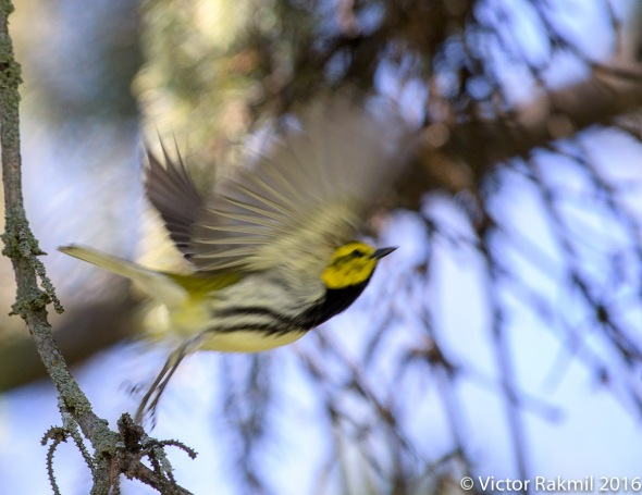 Black-Throated Green Warbler-2