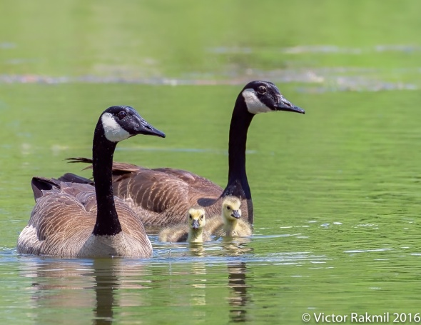 Canada Geese-2