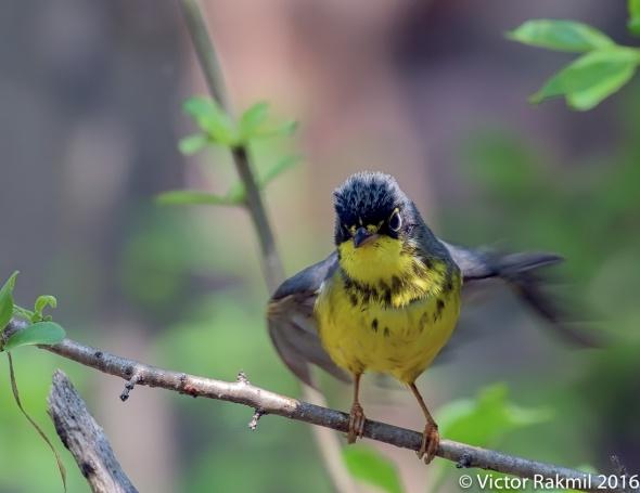 Canadian Warbler-2