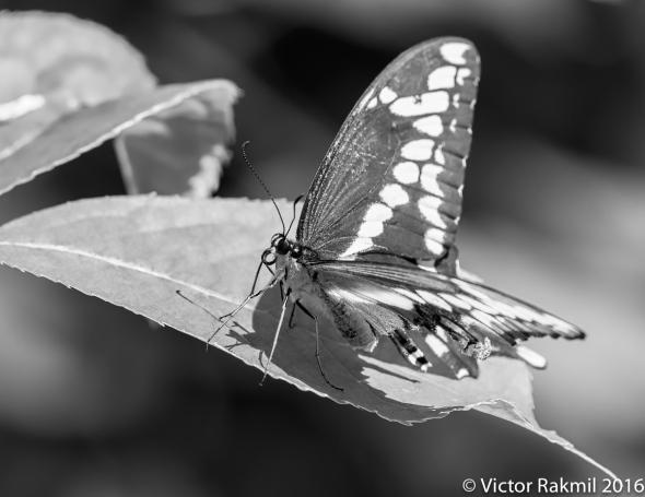 Giant Swallowwtail-2