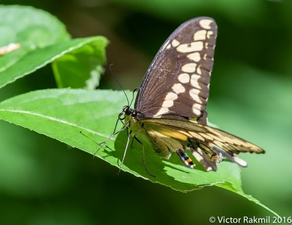 Giant Swallowwtail