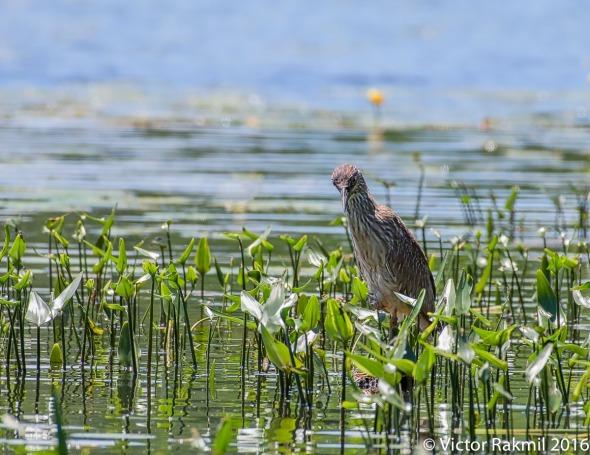 Juvenile Black-Crowned Heron-3