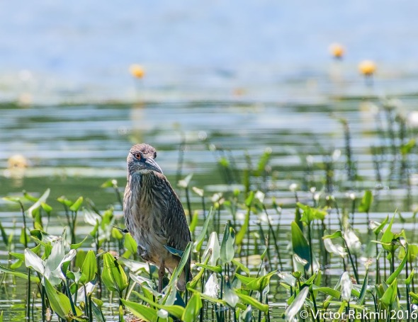 Juvenile Black-Crowned Heron-4