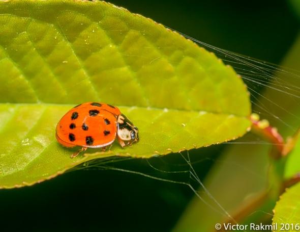 Ladybug2-2
