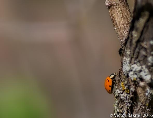 Ladybugs-2