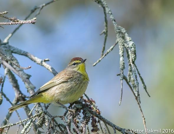 Pine Warblers-2