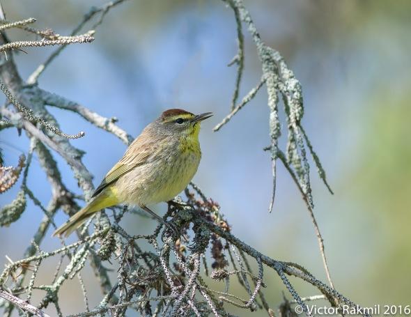 Pine Warblers-3