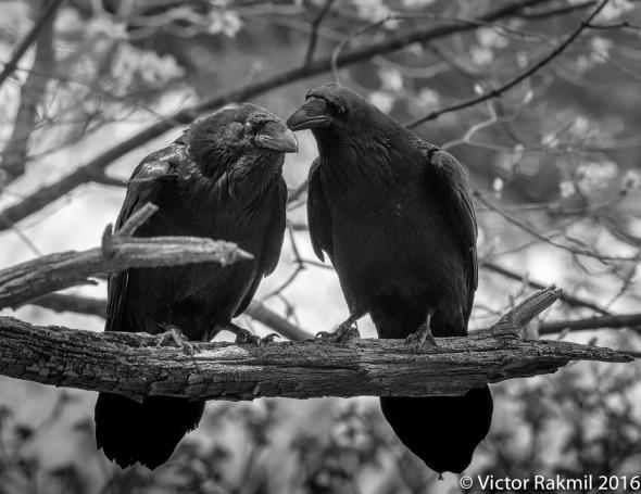 Ravens-Emotion-3