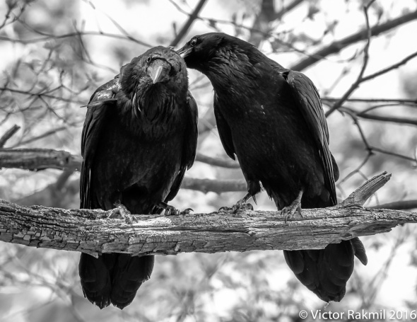 Ravens-Emotion-5