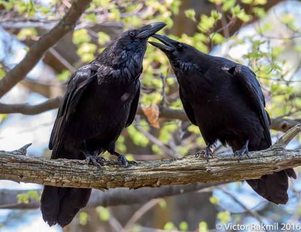 Ravens-Emotion-7