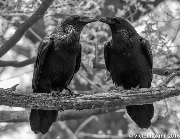 Ravens-Emotion-9