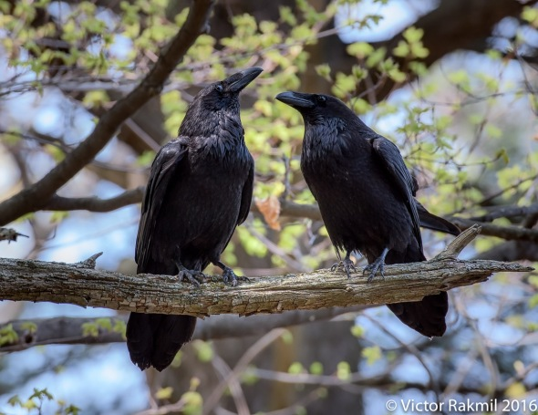 Ravens-Emotion