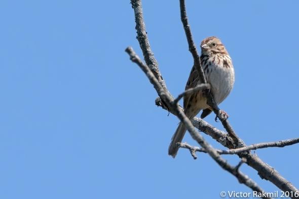Sparrows-2