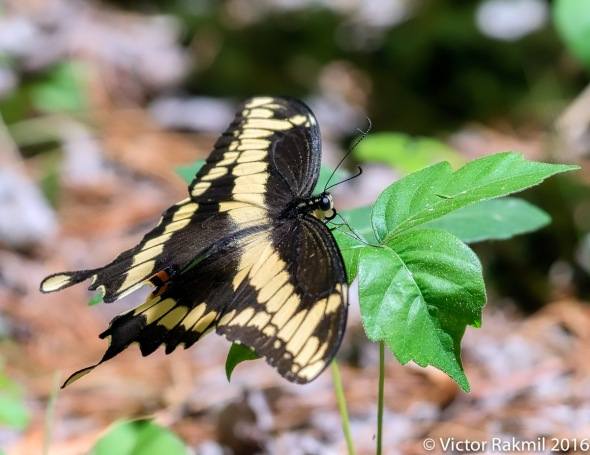 Swallow Tail Butterflies-2