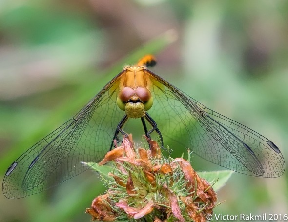 Dragon Fly-2