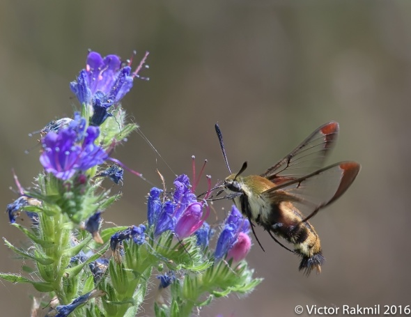 Hummingbird Moth-4
