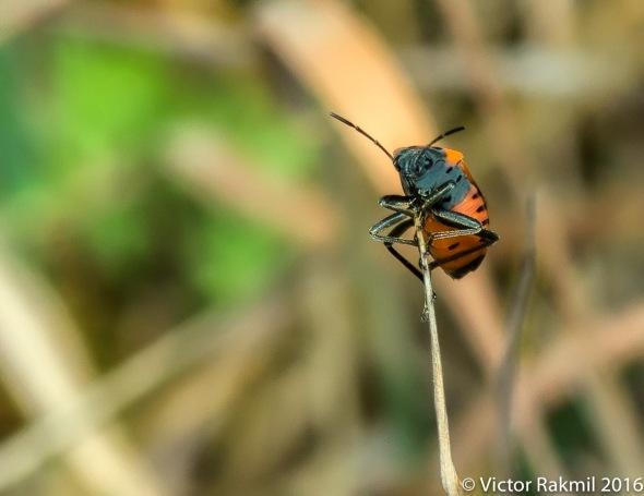 Milkweed Bug-4