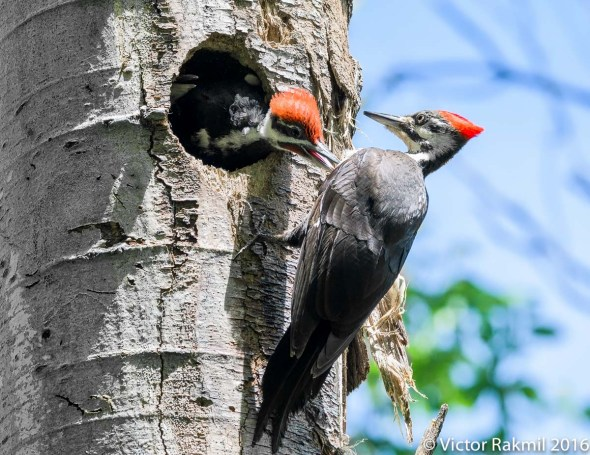 Pileated Woodpeckers-11