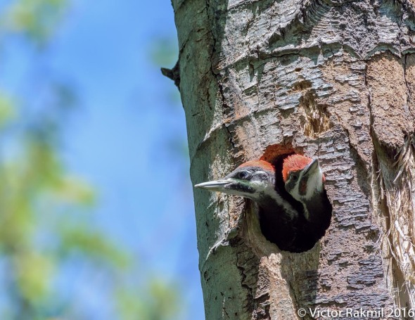 Pileated Woodpeckers-2