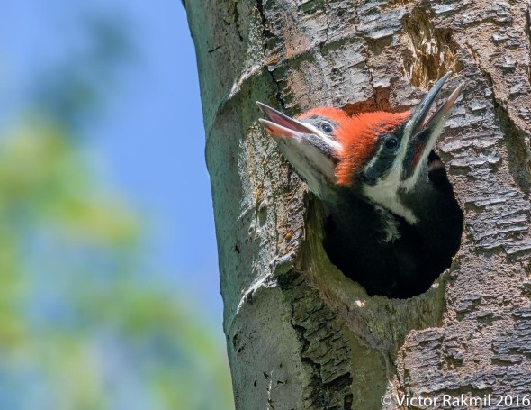 Pileated Woodpeckers-4