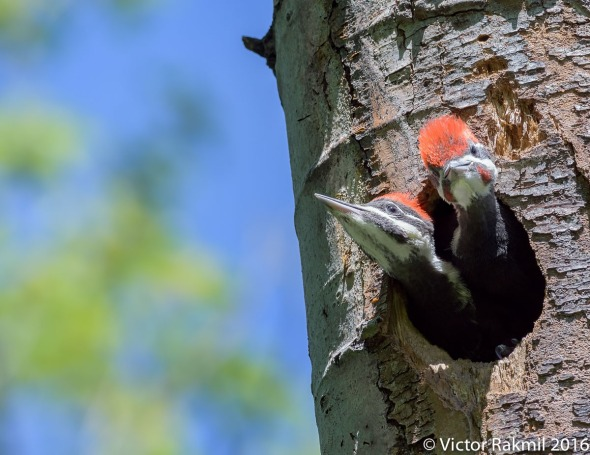 Pileated Woodpeckers-6