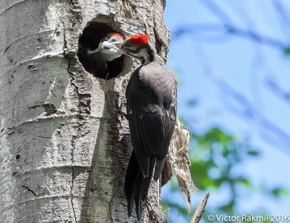 Pileated Woodpeckers-7