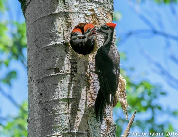 Pileated Woodpeckers-8