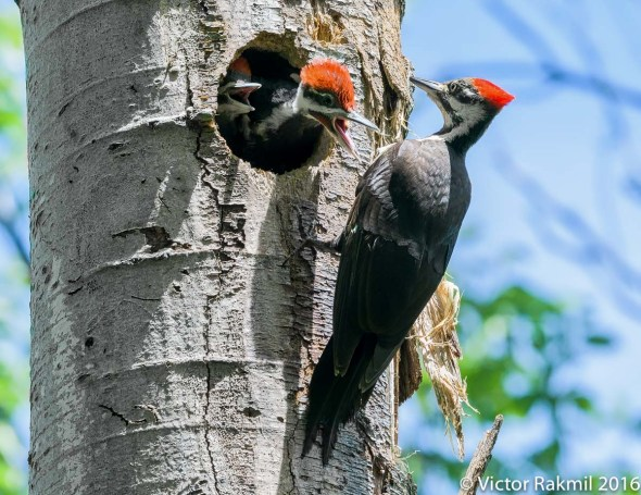 Pileated Woodpeckers-9