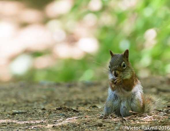 Red Squirrel-2