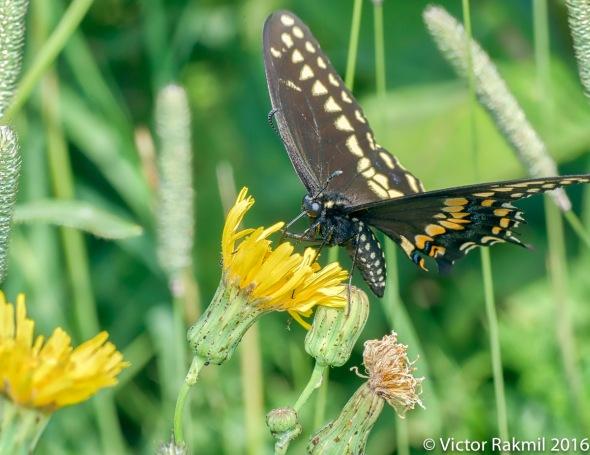 Swallowtail Butterfly-2