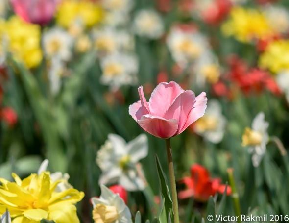 Tulips-4